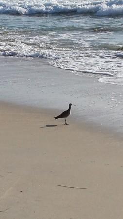 Lone godwit