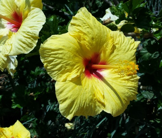 Big hibiscus