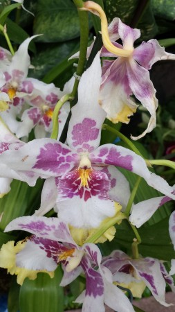 Lath House Orchid