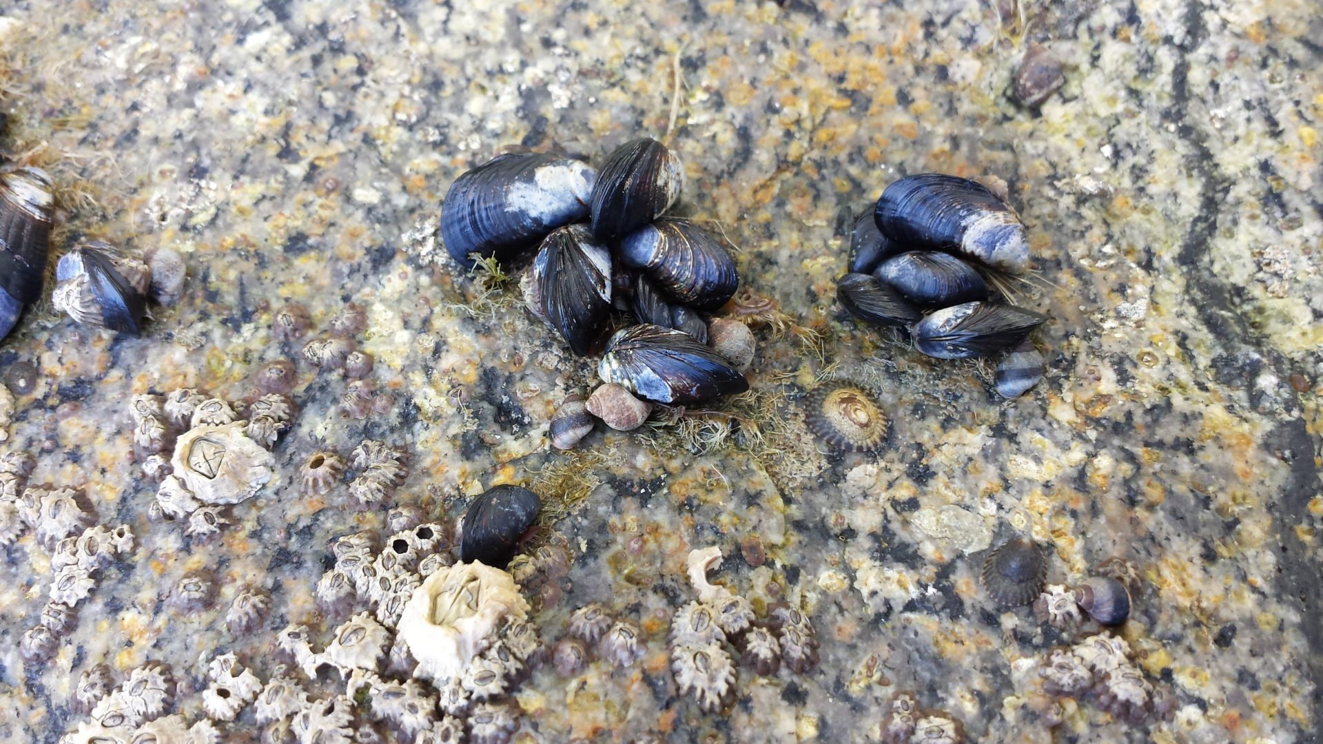 Baby Mussels