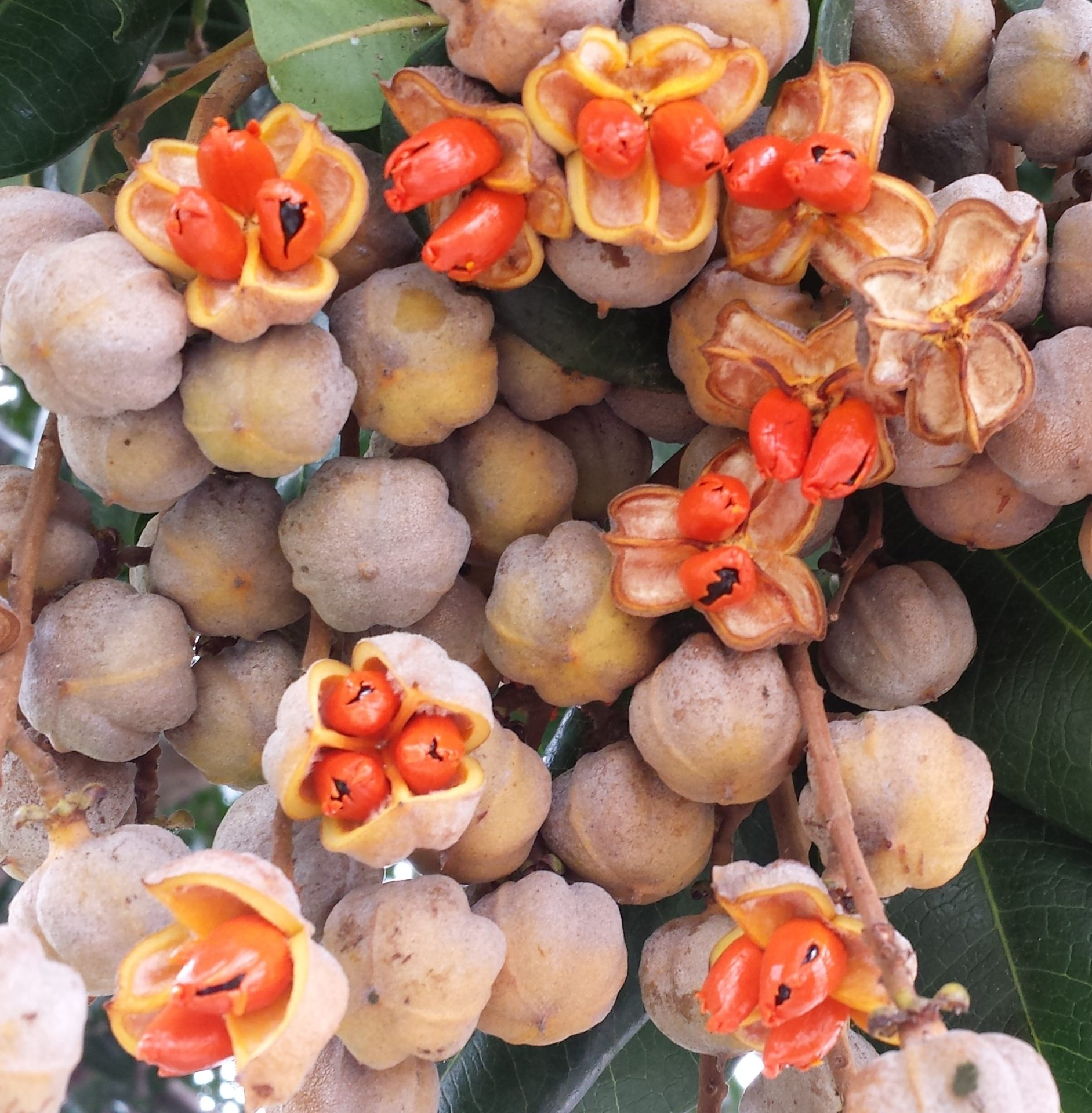 Summer Fruits/Pods/Seeds