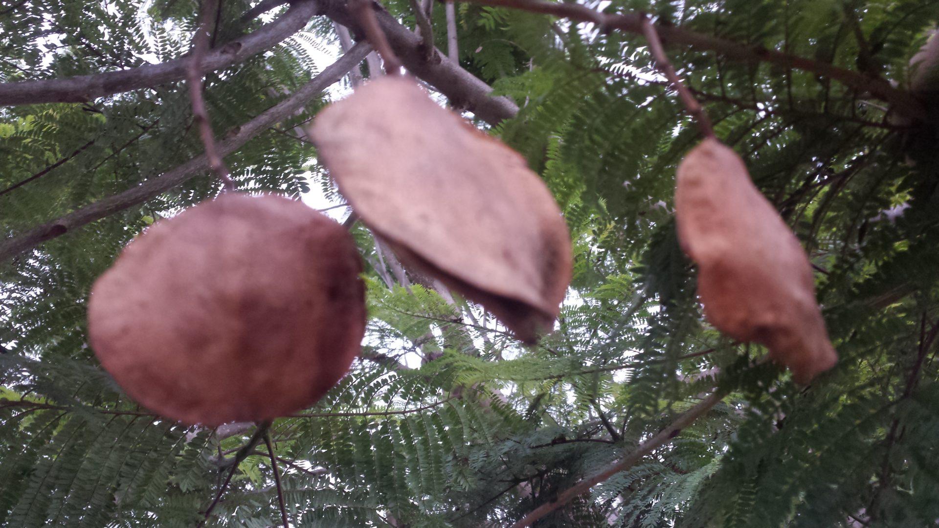Jacaranda Pods