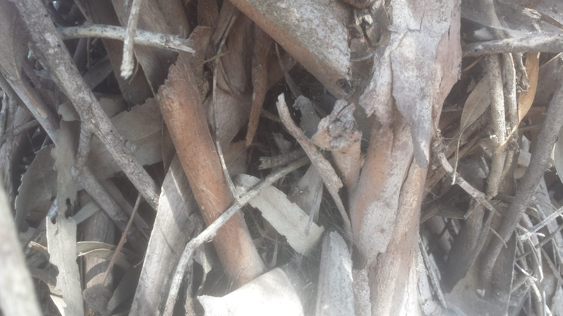 Eucalyptus Tangle