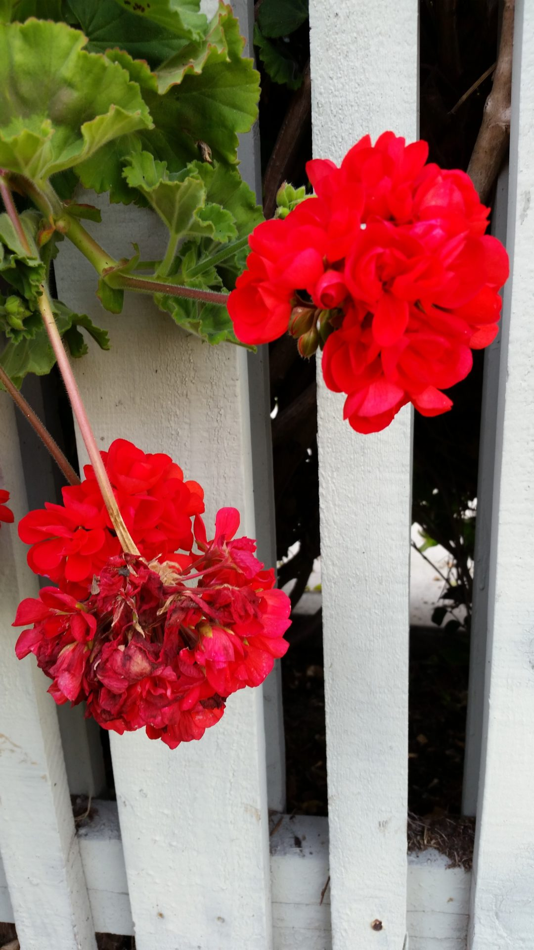 Neighborhood Geraniums