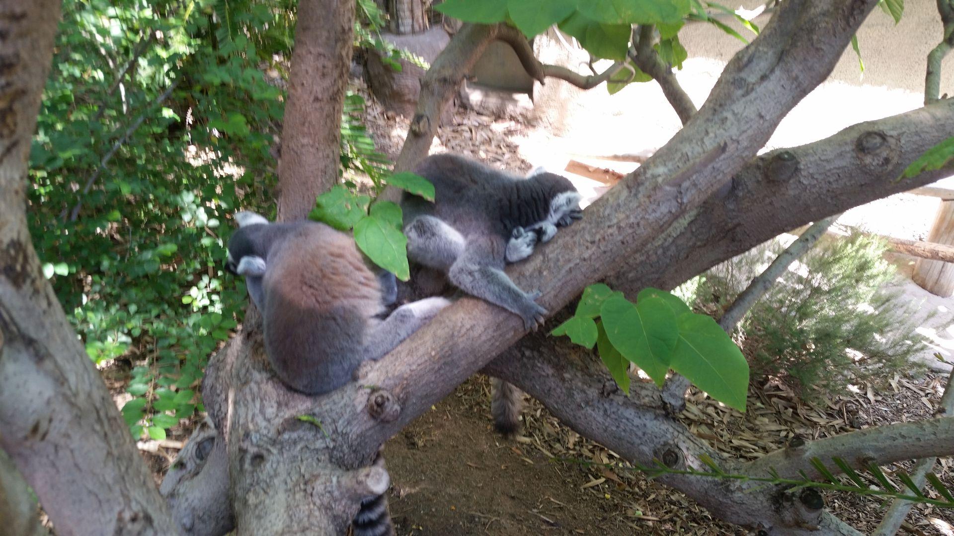 Lemur Contortions