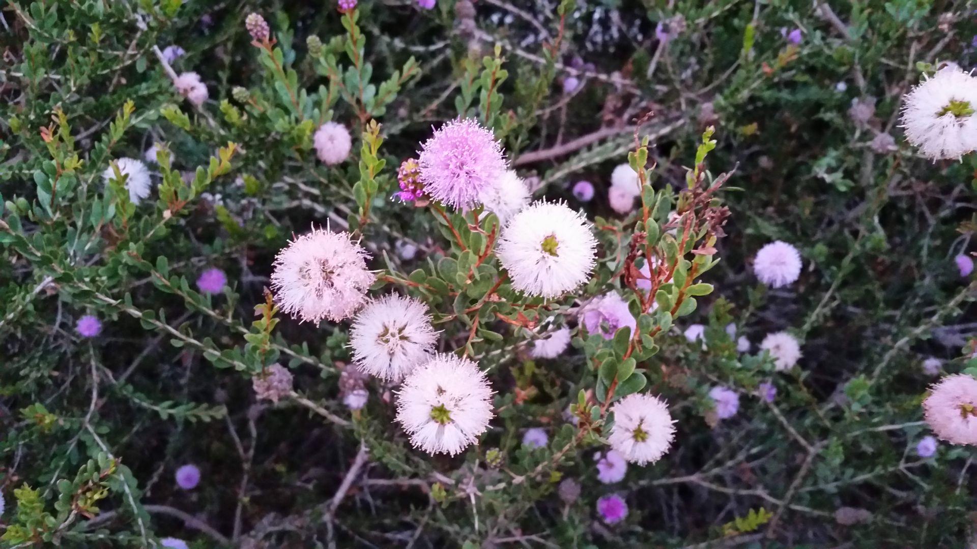Wild (?) Rosemary (?)
