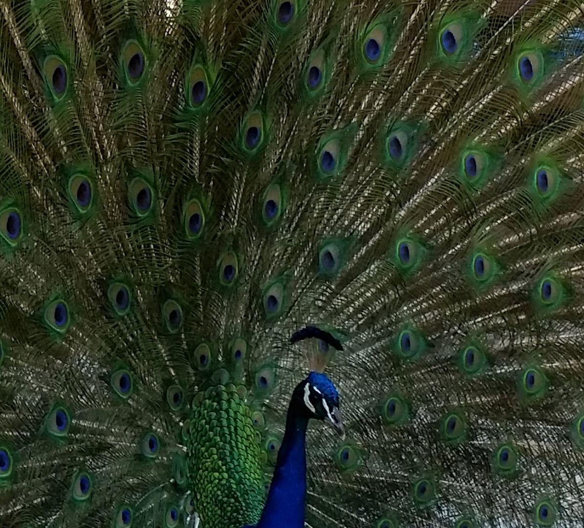 Neighborhood Peacock