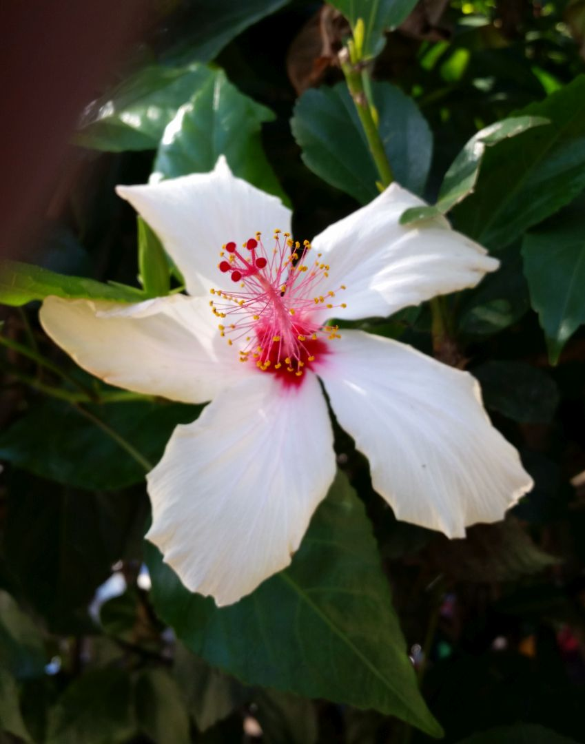 Hibiscus at Park