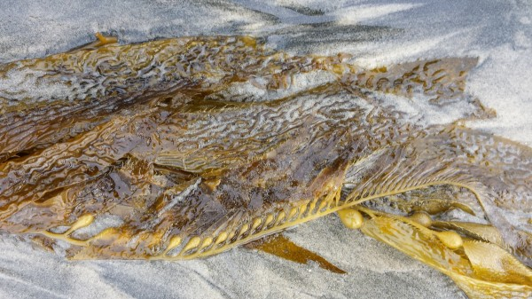 Kelp minis