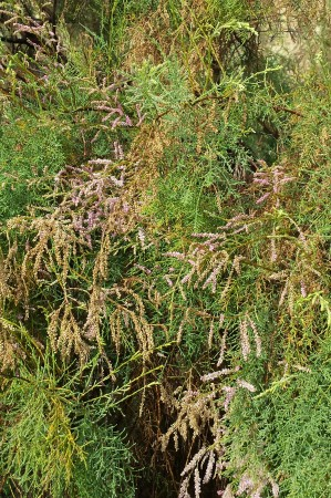 Flowering cedar?