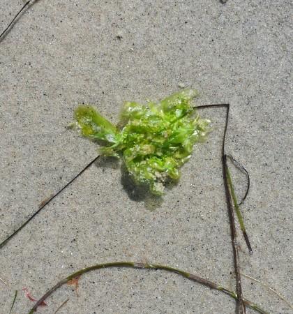 Lettuce leaf seaweed?