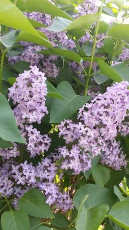 Wisconsin lilacs