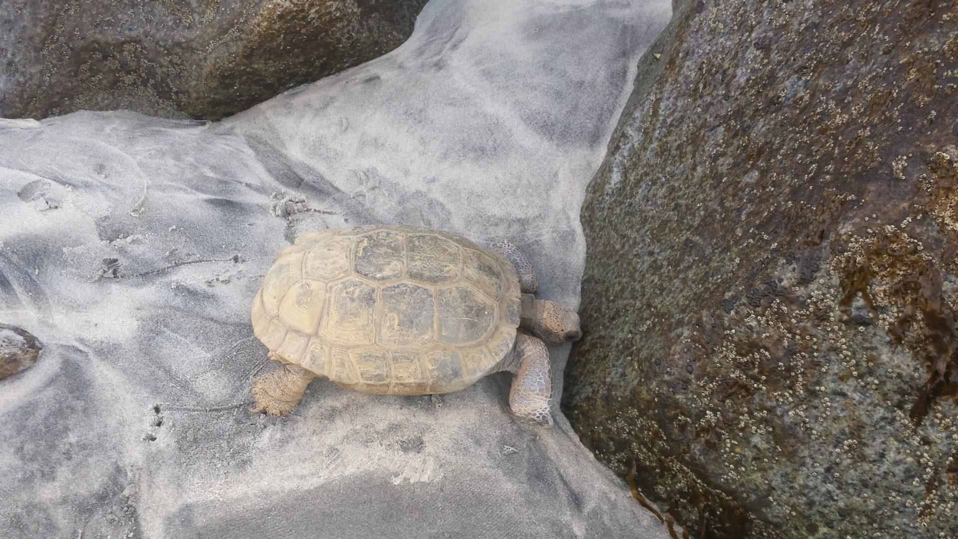 Fred the Lady Desert Tortoise