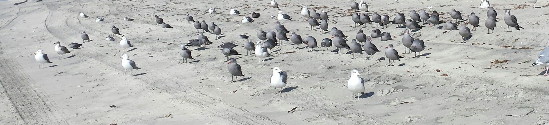 Another gull convention
