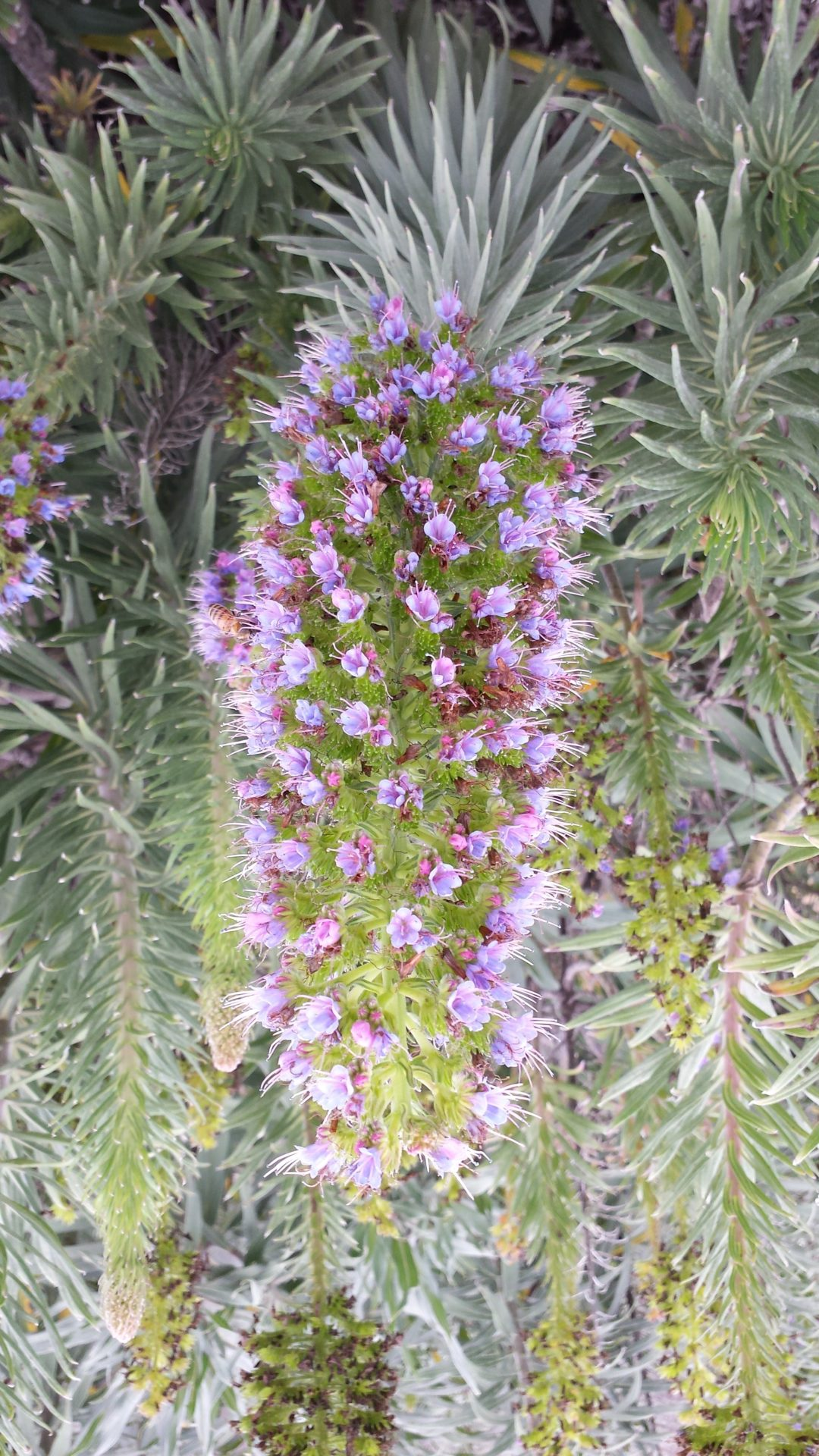 Prickly Purple Porcupine Pineapple Plant