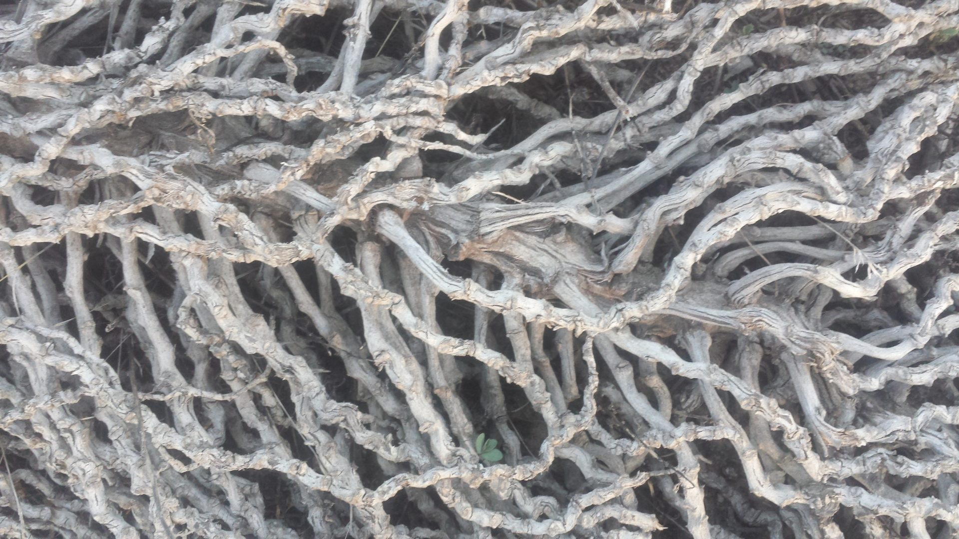 Root Tangle