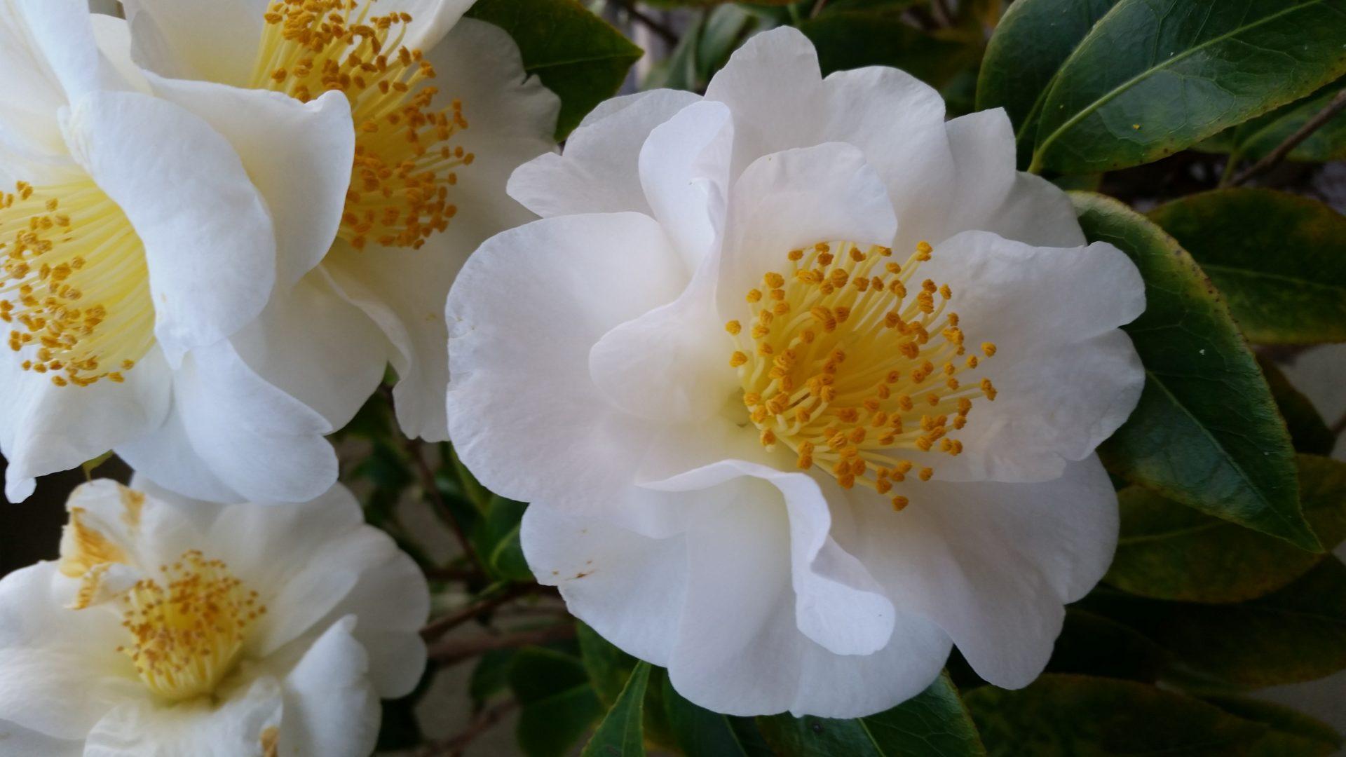 March Magnolia