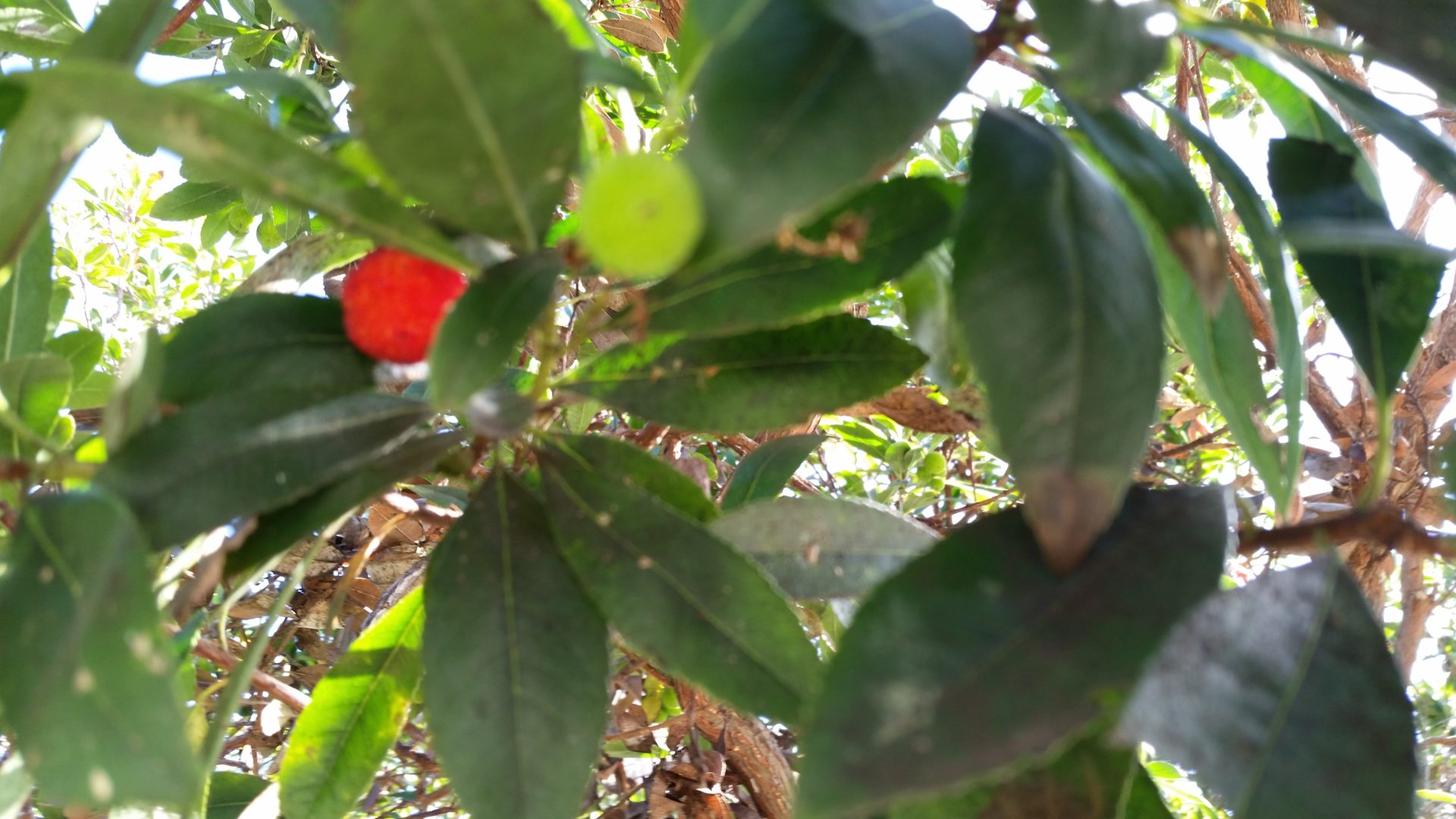 Red Pod/Fruit