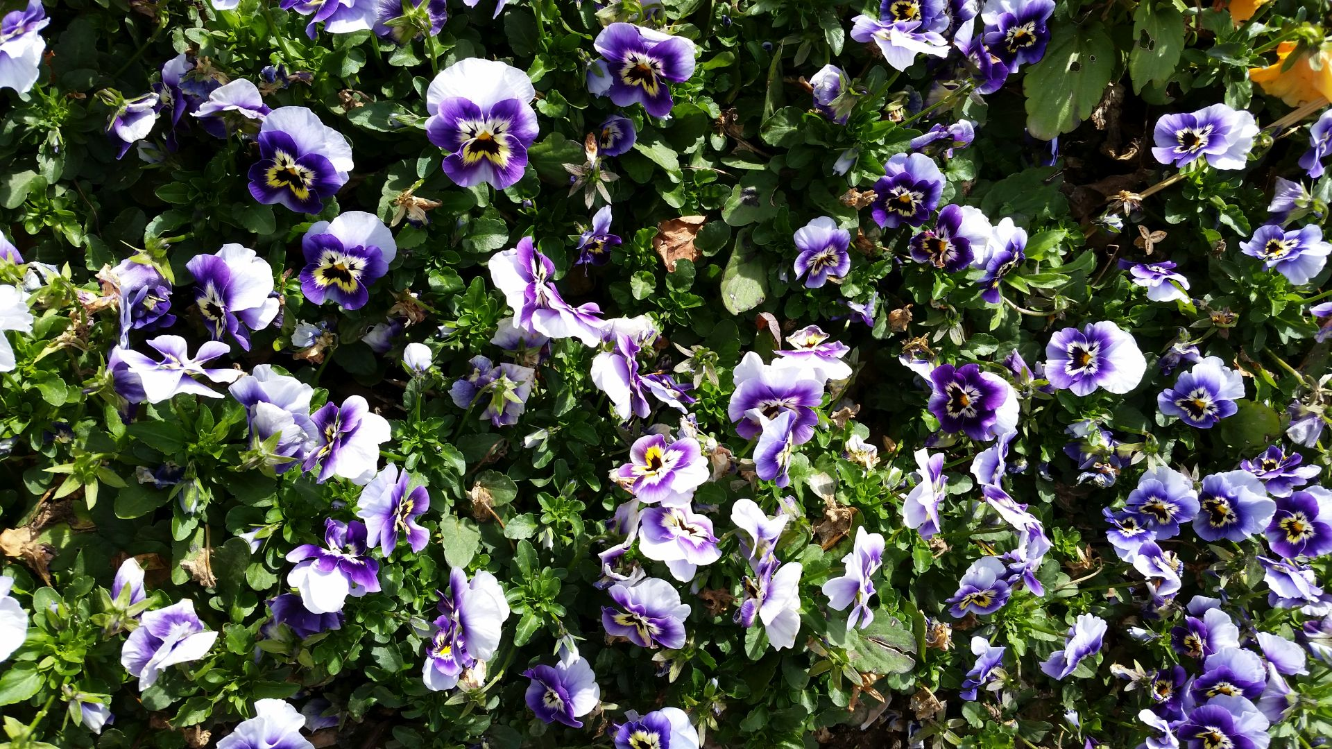 Pansies Everywhere